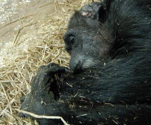 据英国《每日邮报》报道,近日科学家抓拍到的一段视频,首次为我们展示了黑猩猩如何像人类一样对临死的亲人表达关怀和哀思。 (图1)
