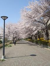 樱花路2 小