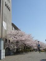 教学楼外的樱花2 小