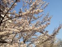 桜花特写2 小