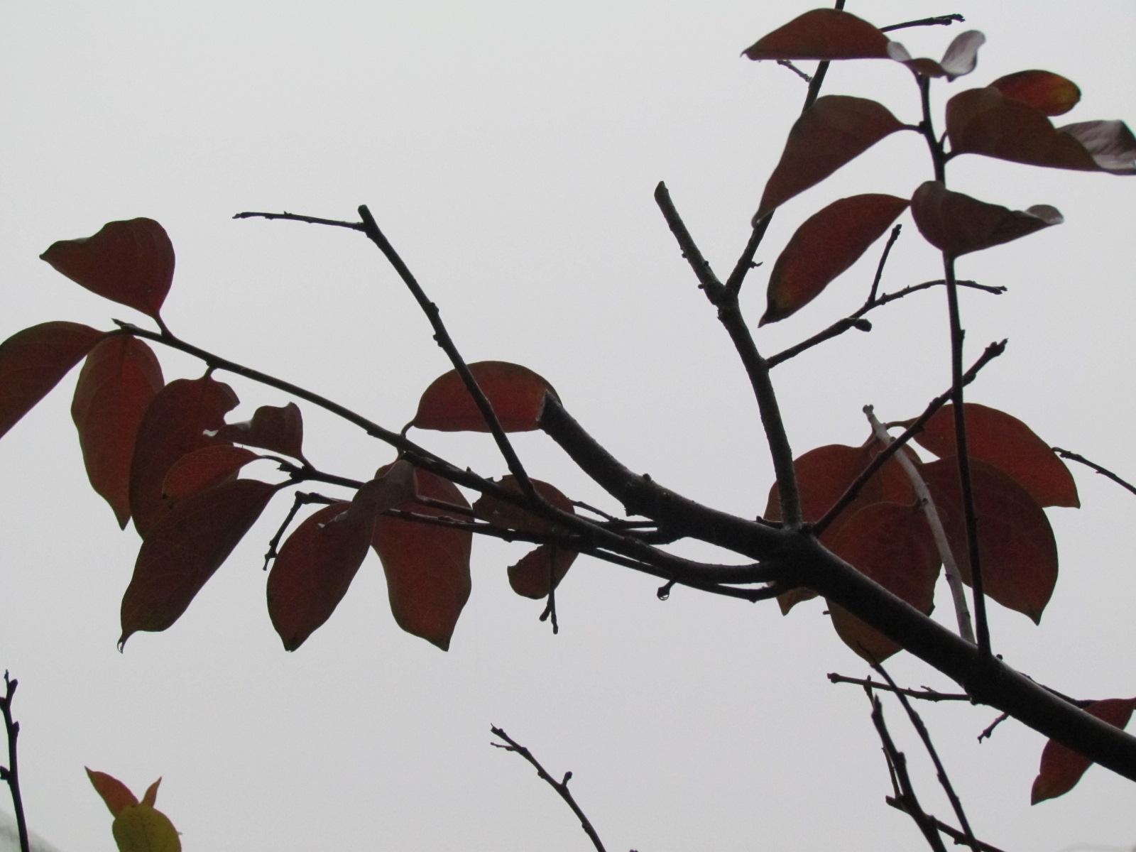 翻看电脑里以前的存照,竟然还有那么多花花草草的风姿绰约。有今春冰雪未融时已开始萌动的牡丹幼芽的一张特写,倔强地将那一点微红带绿的小花萼傲然擎起;有开了满树的小紫荆花,紫的耀眼,却没有一点绿色;有一个冬天没有落叶的月季花;有花蕊高出花瓣的粉红的海棠花安静地开在绿叶间;还记得当时给海棠花拍照时给先生说过:海棠花是最幸福的花。每在这个时候,先生总是以微笑和眼神代替问话,我说:因为海棠花一直开在绿叶里。柿树发芽晚,只照了几张干干的枝条,让我多了许多的盼望和等待。看到这么多照片,我心花怒放了,我竟然为院子里的