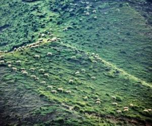 青海草甸上的羊群