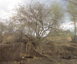 19_但愿灾区如这颗树挺起来并拥有一片新绿