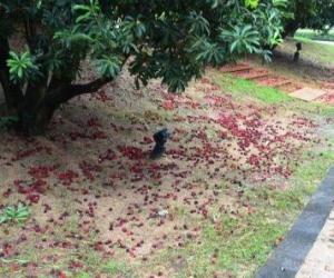 5.梅子雨催珠离树